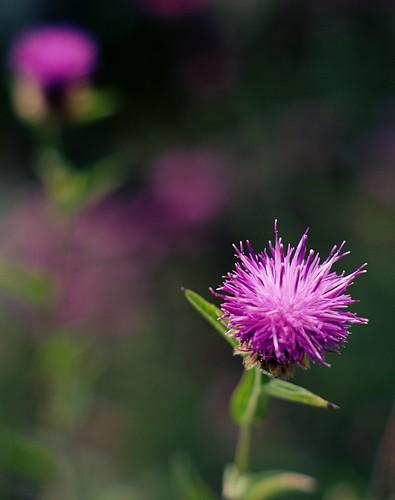 DSC05580_Purple