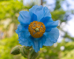Blue Poppy Photo