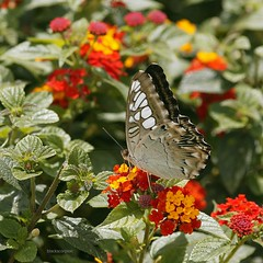 (_blackscorpion_) Tags: butterfly vietnam sapa blackscorpion