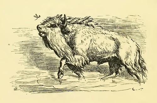 Taurus et Culex