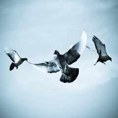 peace, love & happiness (ion-bogdan dumitrescu) Tags: love birds inflight peace pigeon pigeons happiness romania bitzi ibdp popestileordeni mg1472sqedit ibdpro wwwibdpro ionbogdandumitrescuphotography safo2012 11decembrie2015