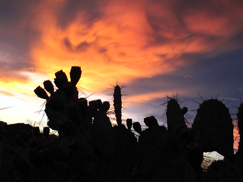 sunset prickly pear