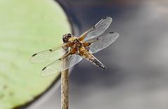 Dragon Fly 2 (Cornishcarolin. Thank you everyone xxxx) Tags: dragon flies