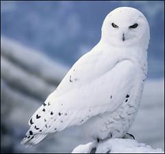 Snowy_Owl_Pic