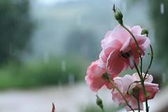 rose sotto la pioggia (acid_nam) Tags: rain rose rosa pioggia corderosa roze bocciolo rainning bagnata pleu skär rosabagnata rooskleurig genagte