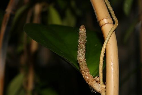Hoya lambii peduncle