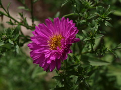 Fall in the Air (Tabby Fan) Tags: backyard border michaelmasdaisy fallaster