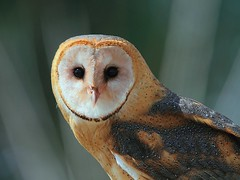 Barn Owl (tony y. h. tong) Tags: ngc creative moment barnowl birdwatcher coth supershot magicofnature specanimal creativemoment mywinners canonef400mmf4doisusm canonefextender14xii avianexcellence goldwildlife canoneos7d selectbestexcellence sbfmasterpiece bestmagicofnature