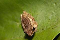 IMG_9409 (beggs) Tags: nature animal singapore amphibian frog 2010 whitelippedtreefrog commontreefrog polypedatesleucomystax fourlinedtreefrog