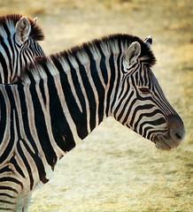 Namibia-Parque Nacional de Ethosa (tapperoa) Tags: africa wild game fauna namibia cebra parquenacional ethosa vidasalvaje reservanatural estremit