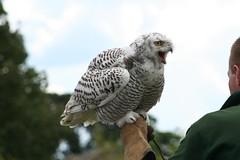 Settle Falcon Centre (43) (Pumpkin muncher) Tags: birds wings eyes head flight wing beak feathers falcon prey claws soar falconry settle talons