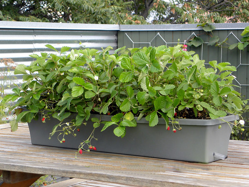 Portable Micro Garden (PMG) » Window Box Sub-irrigated Planter (SIP)