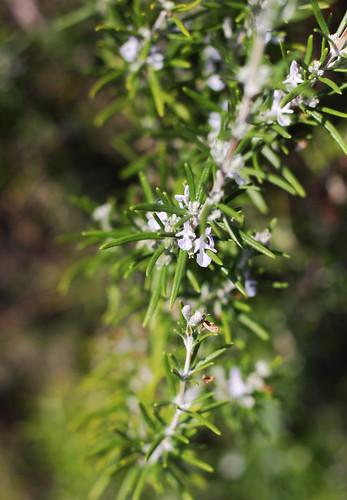 Rosemary's Flowers