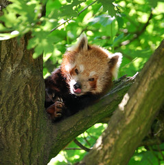 Red Panda (tokek belanda (very busy)) Tags: red germany deutschland zoo panda tiergarten kleiner duitsland kleef rode dierentuin westfalen nordrhein kleve cleves