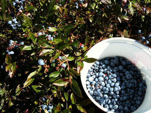 Blueberry picking.