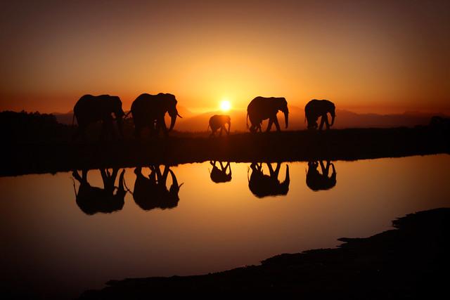 Elephants in Sunrise