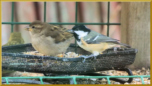 Coal Tit and House Sparrow