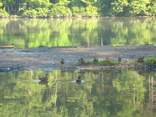 natnote ducksh
