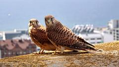 [フリー画像] 動物, 鳥類, ハヤブサ科, チョウゲンボウ・馬糞鷹, カップル (動物), 201009030700
