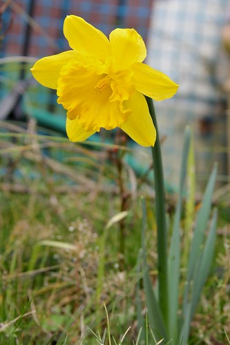 First Daffodil of 2011
