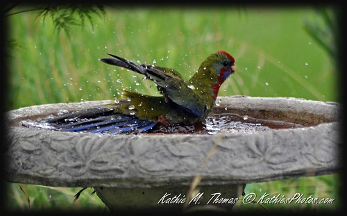 35-365 Rosella takes a bath