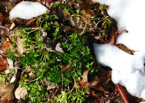 green parsley under the melting snow