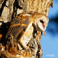 "Watch Out Below (dcstep) Tags: treehole owl owlet barnowl perched commercecity colorado unitedstates us barrlakebarrlakestateparkcanon5dmkivef500mmf4lisiief20xtciii1 000mmhandheldallrightsreservedcopyright2017davidcstephensdxoopticspro114naturebird 1000mm handheld ""all rights reserved"" ""copyright 2017"" ""david c stephens"" ""dxo optics pro 114"" nature bird n7a0435dxo getty ecoregistrationcase15586202651"