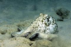 Octopus_Bari Reef_Bonaire_June 2017 1 (R13X) Tags: bonaire underwaterphotography underwatermacrophotography scubadiving diving denlaman dutchcaribbean dutchislands shorediving nikon nikon105mm nikon60mm d7200 octopus barireef somethingspecial saltpier torisreef