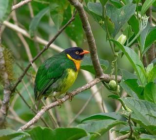 Orange-breasted Fruiteater male