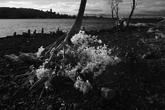 S'accrocher à la vie (Patrice StG) Tags: ir ir760nm infrarouge infrared nex3 tree arbre érosion erosion stlaurent stlawrence river fleuve québec gimp darktable nb bw noiretblanc blackandwhite