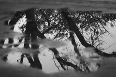 Después de la lluvia (Letua) Tags: bn bw agua arbol charco floor piso reflection reflejos water