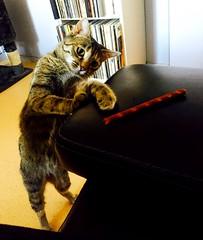 Tu me le donnes ? J'ai été très s sage.. 😽 (fourmi_7) Tags: chat chatte animal yeux gourmande