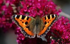 Fuchs (Hugo von Schreck) Tags: hugovonschreck butterfly schmetterling falter fuchs macro makro insect insekt canoneos5dsr tamron28300mmf3563divcpzda010 onlythebestofnature