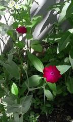 Samtnelke. (h.zuklampen) Tags: samtnelke nelke blume wildpflanze rot licht schatten südosteuropa pink