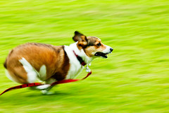 dash! (moaan) Tags: dog green 2004 field corgi july running run utata welshcorgi pochiko ef300mmf28lisusm gettyimagesjapanq1 gettyimagesjapanq2