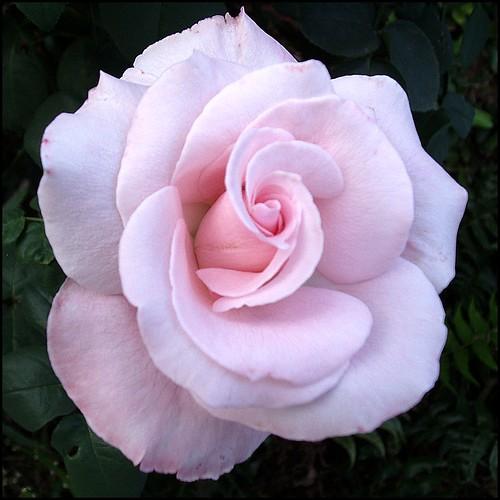 Rosada