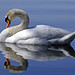 Swan 天鹅 in Ammersee