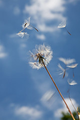 up up and away (Ally81) Tags: seeds dandelions goatsbeard