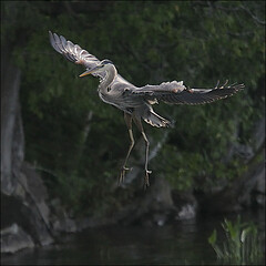 The ballet dancer (NaPix -- (Time out)) Tags: blue trees lake canada reflection bird heron nature action wildlife great flight landing canadaday canonef70200mmf4lisusm canonef14xiiextender napix imagesforthelittleprince
