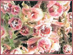 herba gelada (aiguaclara) Tags: pink red verde green planta rojo rosa natura vermell silvestre picnik verd gelada roig herba