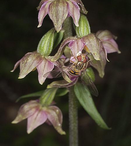 Mangeurs de pollen à orchidées 4753456659_c827b1b062