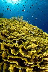 Oh, Jackson reef! (Lea's UW Photography) Tags: underwater redsea egypt fins unterwasser tiran cabbagecoral tokina1017mm salatkoralle canon7d leamoser