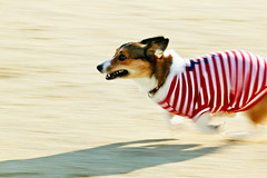 at sonic speed (moaan) Tags: 2003 dog corgi december running run utata pan welshcorgi panning dush pochiko ef300mmf28lisusm gettyimagesjapanq1 gettyimagesjapanq2