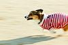 at sonic speed (moaan) Tags: 2003 dog corgi december running run utata pan welshcorgi panning dush pochiko ef300mmf28lisusm gettyimagesjapanq1 gettyimagesjapanq2