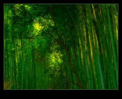 - 17   Bamboo Forest in Sagano, Japan (Hopeisland) Tags: trees plant tree green nature field japan forest spring kyoto grove bamboo april tall soe sagano 2010    bamboogrove      flickraward    flickraward5