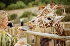 day one-hundred-seventy-five. (fivefortyfive) Tags: blue film tongue 35mm happy feeding kodak spots 200 giraffes coloradosprings 365 minoltax370 cheyennemountainzoo fivefortyfive 365days 175365 imcurrentlymissingthebiglistof365picturestokeepmeontrack illfinditdontworry maggieannre
