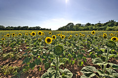 (MeaghaHertz) Tags: field sony maryland wideangle sunflower agriculture hdr sigma1020 mckeebeshers a550 thechallengegame challengegamewinner