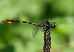 Two-striped forceptail(Aphylla williamsoni) (mat425) Tags: water eyes dragonfly clayton treatment huie