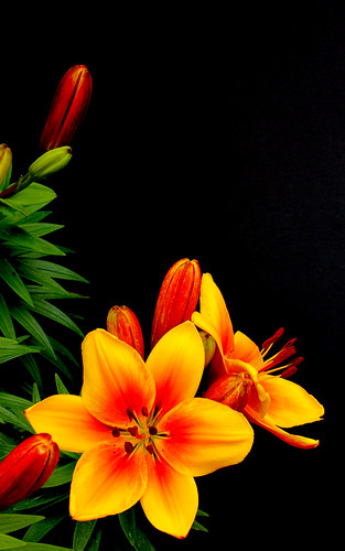 Orange Lilies on black