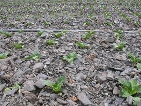 中橫公路道路沿線的菜田景觀。菜田中的土壤已流失殆盡,窮目所及,盡是石礫。這般田地沒有絲毫保水的功能。(圖片來源:邱志郁)